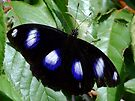 Common Eggfly Butterfly by Gabrielle  Lees