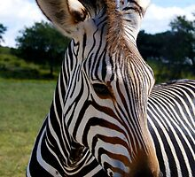 Zebra by ☼Laughing Bones☾