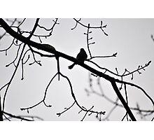 Spring Robin Photographic Print