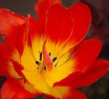 Tulip by vbk70