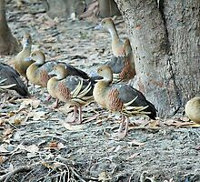 plumed whistling-ducks by andod