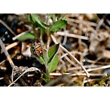 Shield Bug Photographic Print