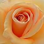 2011 Rose Series #2 by Emily Bagley