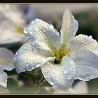 Clematis by Gail Jones