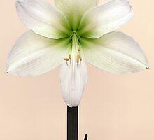 Amaryllis by Brian Haslam