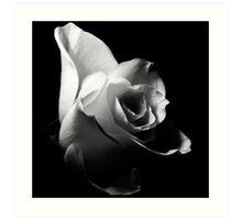 White Rose/Weiße Rose Art Print