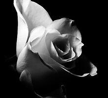 White Rose/Weiße Rose by FlashGordon666