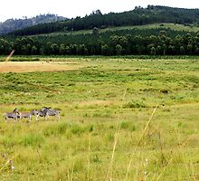 Zebras in the Milwane Game Reserve, Swaziland by habraham