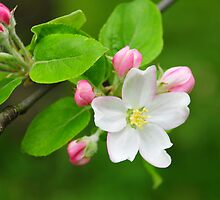 apple blossom by Tristram