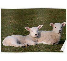 Lambs lying down Poster