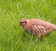 Red Legged Partridge by David-J