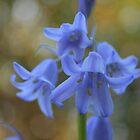 Bluebells by Martin Griffett