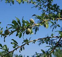 Olive Branch by Susanne Flø