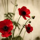 Poppies by Andrew Walker