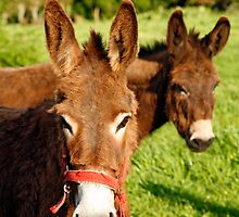 Two donkeys by Gaspar Avila