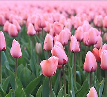 Tulip cultivation  by DutchLumix