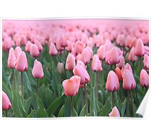 Tulip cultivation  Poster
