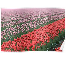 Tulip cultivation 2 Poster