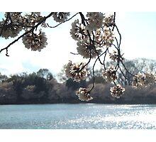 Sakura II Photographic Print