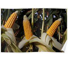 Ripe corn  Poster