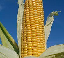Ripe corn by StefanFierros
