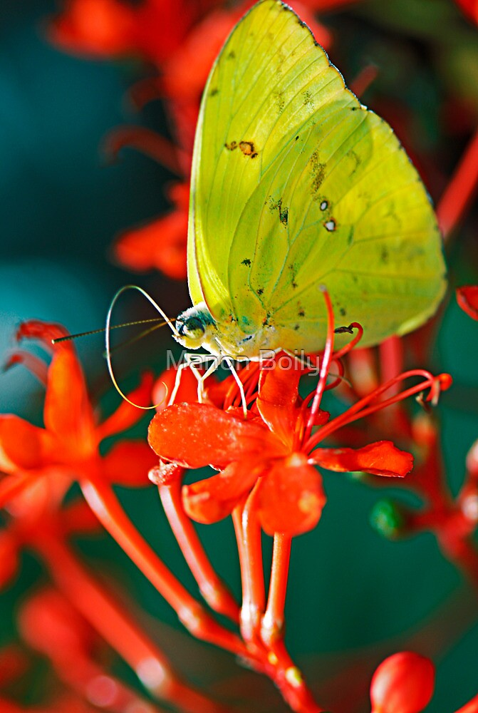 yellow butterfly by Manon Boily