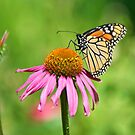 Monarch Butterfly - Danaus Plexippus by Mike Capone