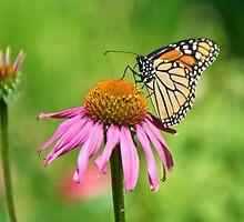 Monarch Butterfly - Danaus Plexippus by Mike Capone