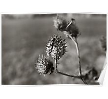 Milk Weed Pod Poster