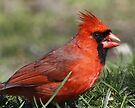 Cardinal by Dennis Cheeseman