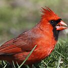 Cardinals by Dennis Cheeseman