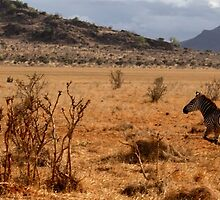 Wild galloping zebra by Virtuosa
