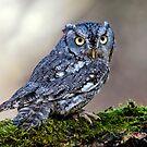 Screech Owl by Sue Ratcliffe