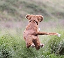 Nova Scotia Duck Tolling Retriever Puppy Flying by littlewings
