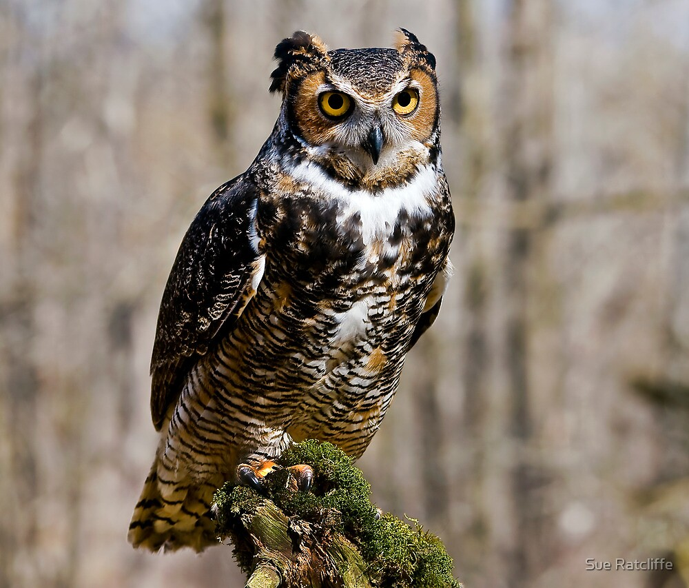 Great Horned Owl by Sue Ratcliffe