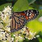 Sharing nectar! by jozi1