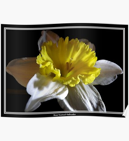 Jonquil / Daffodil #2 Poster