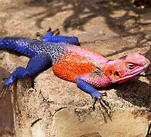 East African Rainbow Agama, Male  by Carole-Anne
