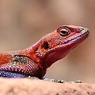 East African Rainbow Agama Lizard, Male by Carole-Anne