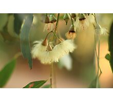 River Red Gum flower Photographic Print