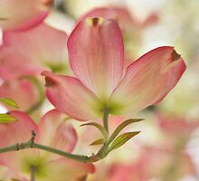 Flowering Dogwood by Barbara  Brown