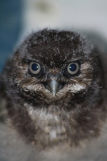 Burrowing Owlet by Alyce Taylor