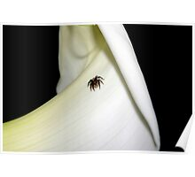 Tiny jumping spider Poster