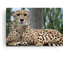 Restful Cheetah Canvas Print