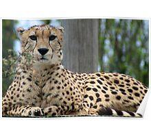 Restful Cheetah Poster
