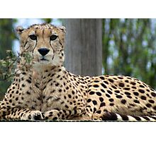 Restful Cheetah Photographic Print