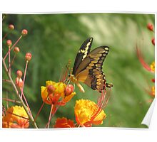 Giant Swallowtail Butterfly on Red Bird of Paradise Bloom Poster