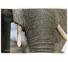 """Up close and personal"" - elephant cow - Kruger Nat. park Poster"