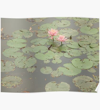 Happy pair of water lilies enjoying a beautiful sunny day Poster