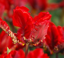 Red tulip by roumen
